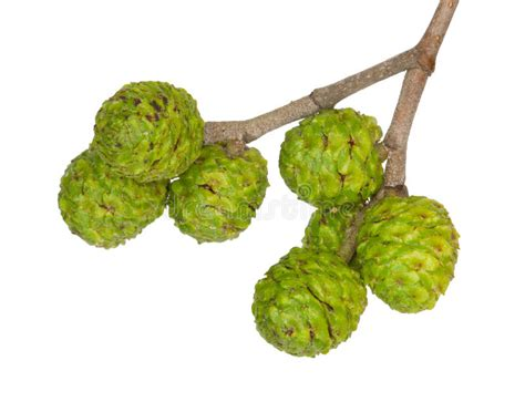 fruit d aulne fruits d aulne gris image stock image du 233 corce blanc