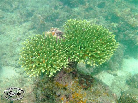 coral table l table corals acropora family chaloklum diving koh