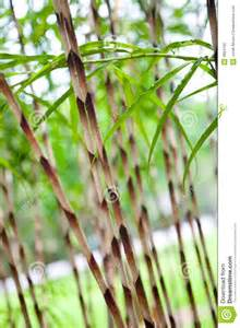 ornamental japanese bamboo grass royalty free stock photo image 4854165