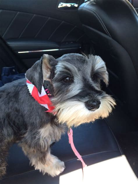 miniature schnauzer hair styles pictures haircuts for mini schnauzers dog breeds picture