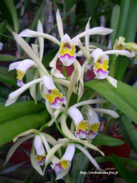 St Cattleya 1 2 Tamat de 3139 b 228 sta orchids storczyki bilderna p 229