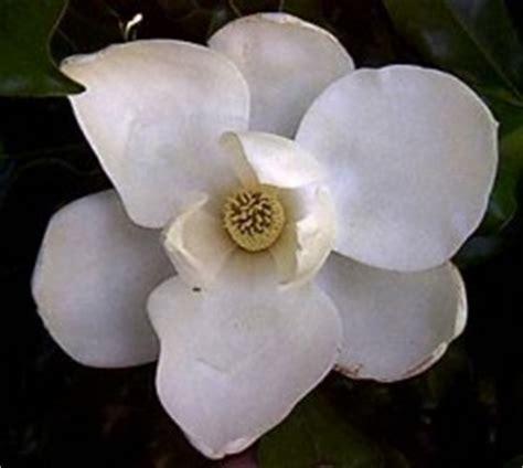 negrita magnolia testo magnolia gli accordi