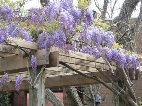Decorate Front Porch by Growing American Wisteria Hgtv