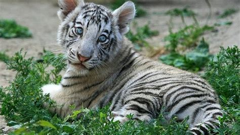 Baby White Tiger white tiger baby photo