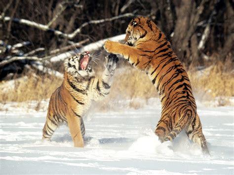 imagenes impactantes de felinos fotos de animales felinos salvajes