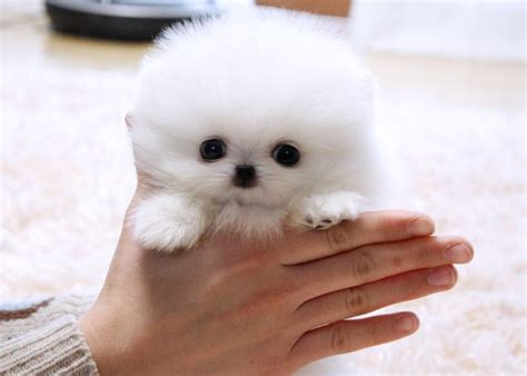 white fluffy teacup pomeranian puppies white teacup pomeranian its so fluffy i could die adorable puppies