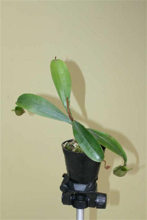 Tanaman Hias Kantong Semarnepenthes Mirabilis Hijau tanaman nepenthes ullaria hijau bibitbunga