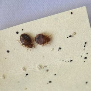 How To Get Rid Of Ants In Bedroom bed bugs appearance and life cycle bed bugs get them