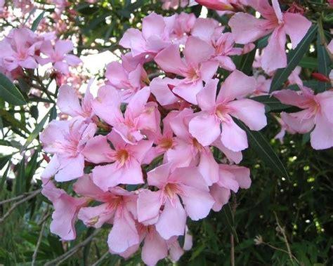 potatura oleandro in vaso oleandro piante da giardino