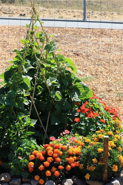 Intensive Vegetable Gardening One Of Our Gardeners Enjoys The Intensive Method Of