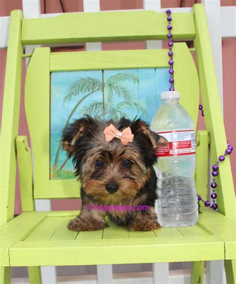 yorkies for adoption in tx available teacup yorkies terriers for adoption in tinypuppy