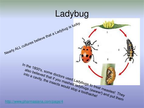 ppt the life cycle of ladybugs powerpoint presentation ppt metamorphosis and life cycles powerpoint