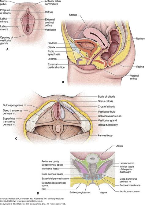 sagittal section of the female pelvis 172 best anatomy images on pinterest anatomy medicine