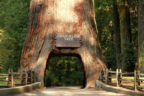 Panoramio Photo Of Chandelier Tree Leggett Ca Chandelier Tree