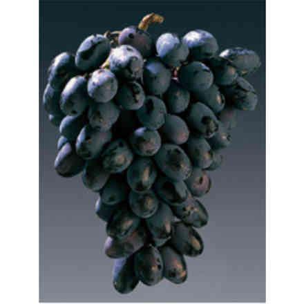 barbatelle uva da tavola barbatelle uva da tavola polsinelli enologia