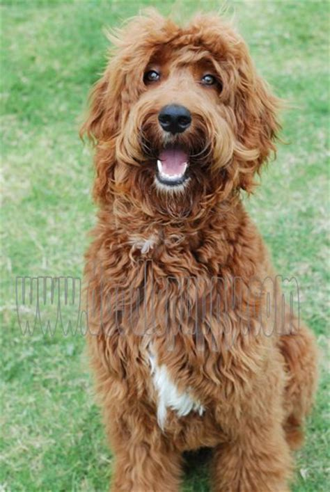 irish setter poodle mix 17 best images about irish doodles on pinterest poodles