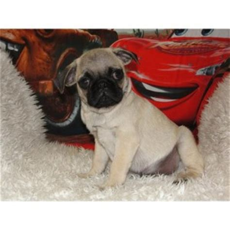 pug puppies for sale in boise idaho dogs idaho free classified ads