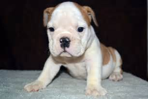 English bulldog puppy for sale american bulldog puppies for sale