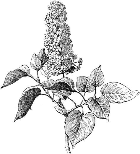 syringa vulgaris clipart etc