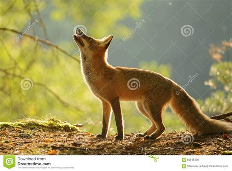 fox looking fox from side in autumn backllight stock photo image 60645495