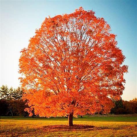 maple tree symbolism joshua new york thinglink