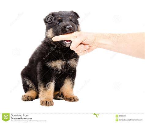 german shepherd puppy biting german shepherd puppy biting the finger of a stock photo image 64026409