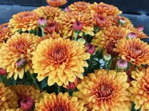 1000 ideas about chrysanthemum plants on pinterest