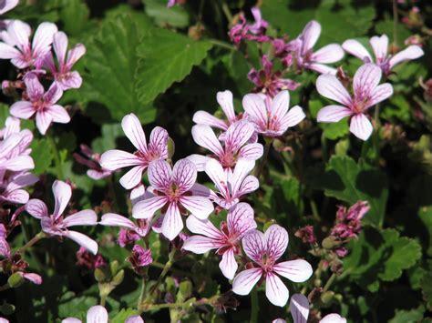Plants Diseases List - pelargonium