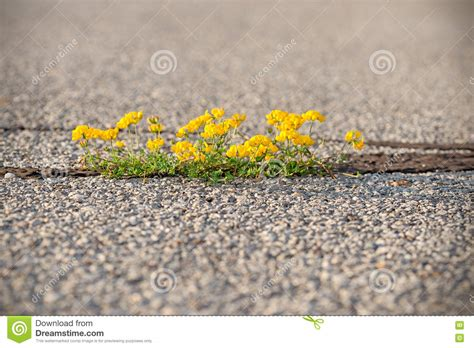 jig006 to survive nature yellow on asphalt power of nature yellow flower