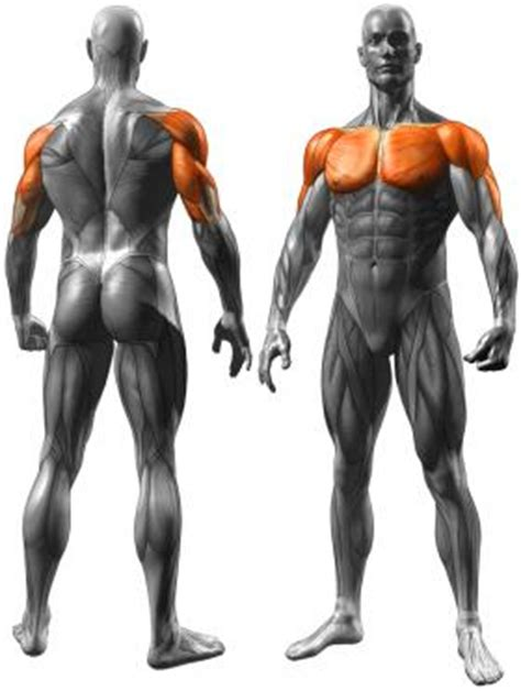 muscles worked by bench press chest exercises coreworkout net