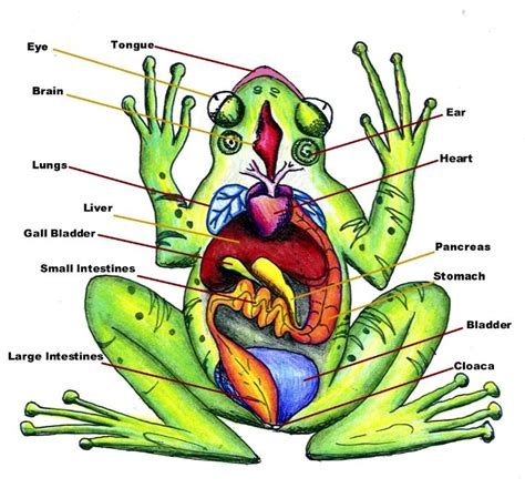 diagram of dissected frog fireflydreams21 frog dissection lab