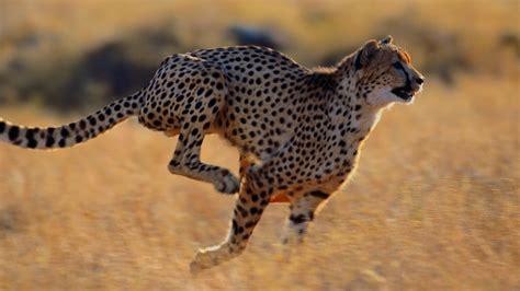 imagenes de animales rapidos top 10 los animales m 225 s veloces del mundo ecoosfera