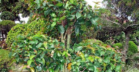 Bibit Dewandaru jual bonsai sianto dewandaru jual tanaman hias
