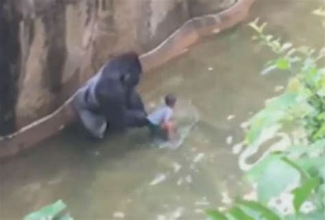 attacks child if a gorilla attacks a child shoot the gorilla every time