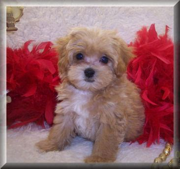 apricot maltipoo puppies for sale include your business name and location