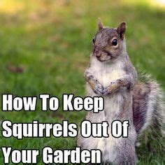 squirrel repellent how to keep squirrels out of your