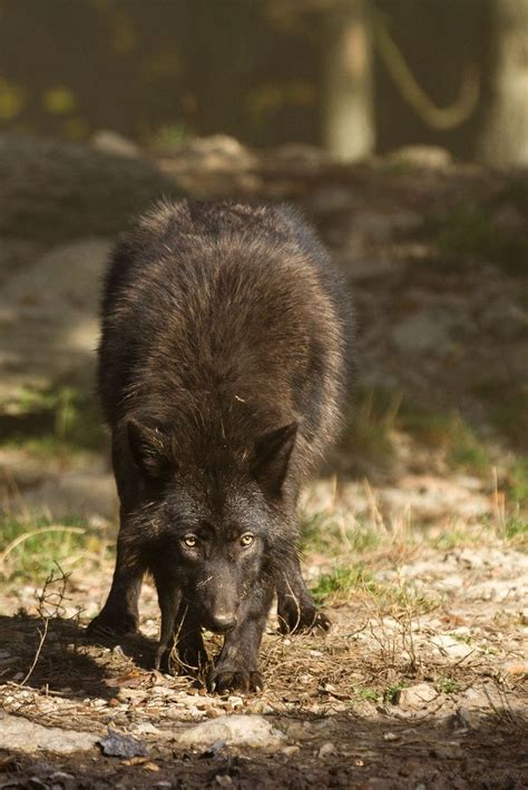 17 best ideas about black wolves on wolves