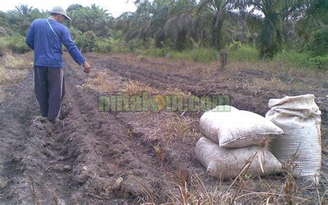 gambar penggunaan pupuk organik tricho kompos mitalom