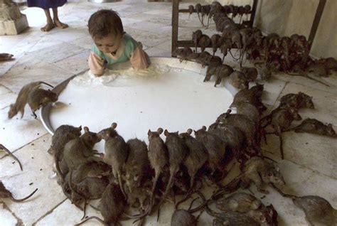 Chinese Kitchen Rock Island Schr 228 Ge Pics Ratten Und Kind An Rie 223 Iger Milchschale