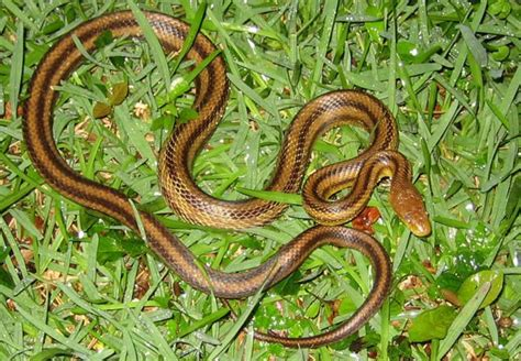 florida s fabulous spiders ebook yellow rat snake information facts snakes pinterest