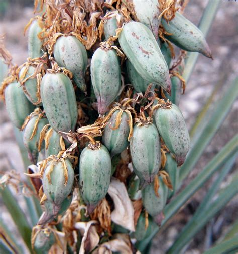 yucca carbohydrates prickly pear