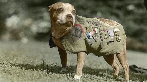 Sergeant Stubby Most Decorated Stubby The Spycatcher And The Animals Of World War I The Mercury