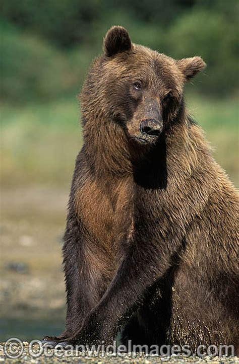 brown bear brown bear 0241137292 alaskan brown bear wild ones alaskan brown bear brown bear and bears