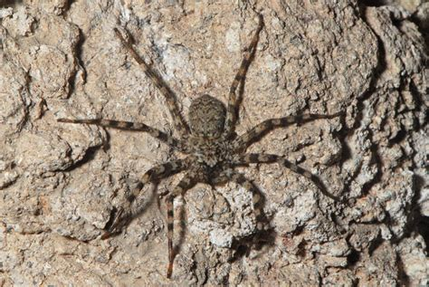 Rock Spider by Flat Rock Spider Selenops Sp