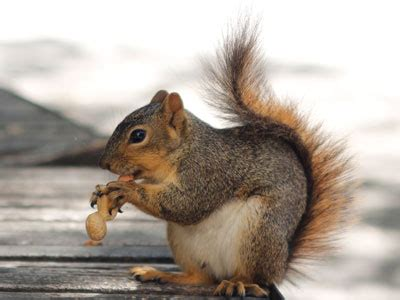 fox squirrels use chunking to organize their favorite nuts