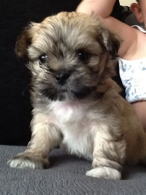 grown teacup shih tzu mal shi maltese x shih tzu mix temperament puppies pictures