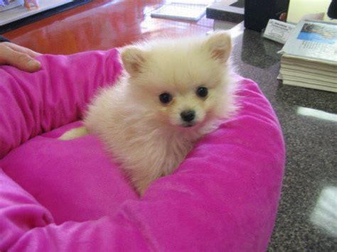 baby pomeranians for adoption sweet baby pomeranian puppies for adoption bridgat