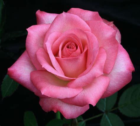 tiffany rose tattoo best 25 pink roses ideas on flora garden