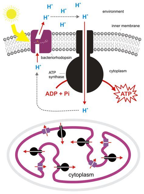 Generation Of Proton Gradients Across Membranes by 5 11d Bacteriorhodopsin Biology Libretexts