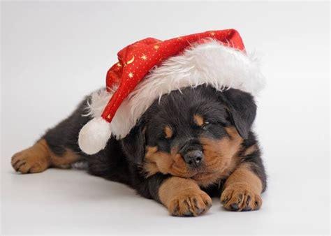 rottweiler christmas pup  present  love  animal rottweiler rottweiler dogs